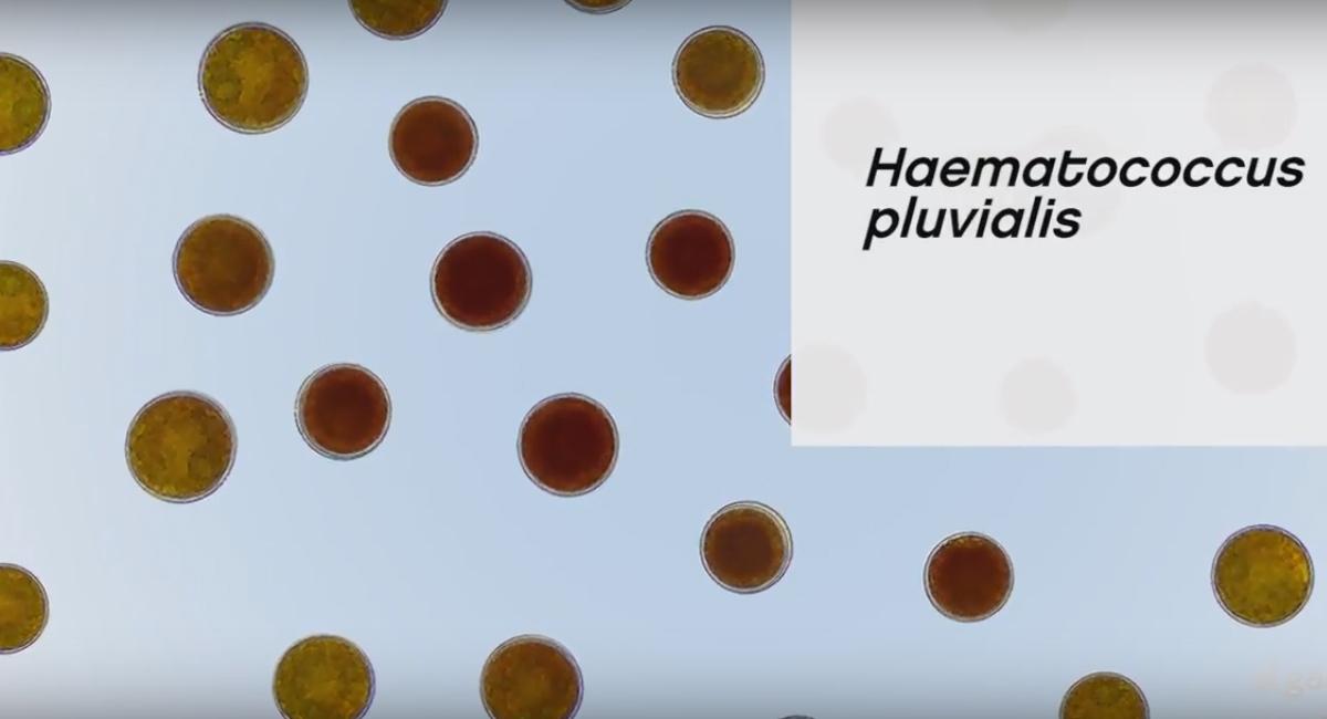 IVITAL艾維特®Astalif 蝦紅素DHA+EPA
